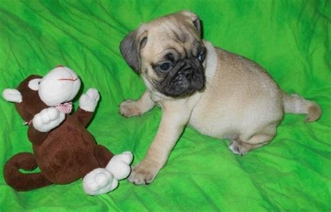 pug puppies for sale uk 300 beautiful fawn pug puppies for sale