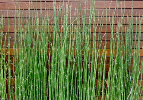 Landscape Fabric Horsetail Horsetail Reed Grass Equisetum Hyemale Slender And A