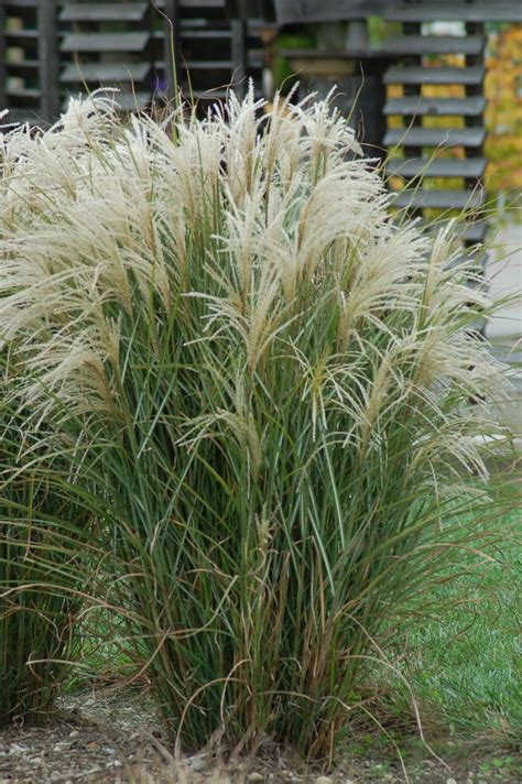 Types Of Decorative Grasses by 17 Best Images About Ornamental Grasses On