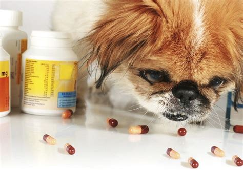 allergy meds for dogs common allergies symptoms treatments and medications