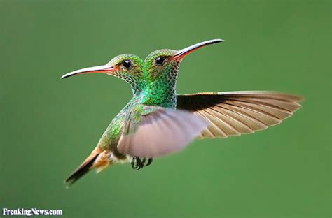 two headed humming bird pictures freaking news