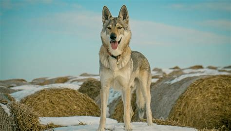 wolf breed dogs 25 wolf breeds and how they became our domesticated dogs