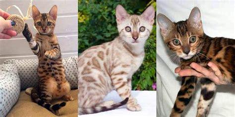 bengal house cat bengal cats bengal cat breed information