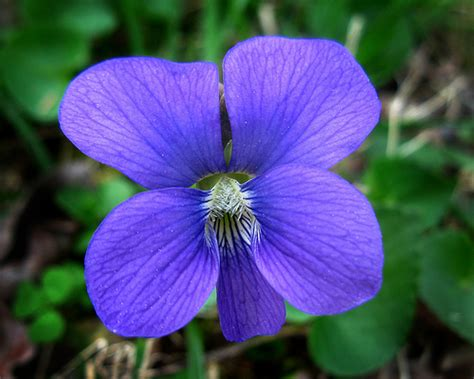 new jersey state flower common meadow violet nj violaceae viola sororia wildflower violaceae family