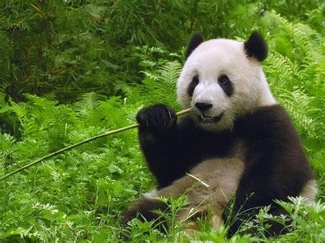 Wallpaper Alam Dan Hewan | wallpaper hewan panda lucu dan pemandangan alam