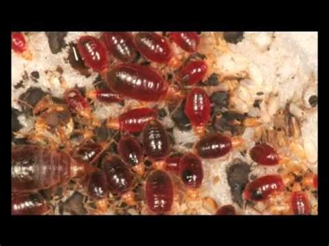 bed bugs spanish bed bugs attack youtube