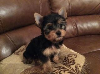 yorkie puppies for sale in bloomington il akc registered yorkie terriers 250 waukegan for sale bloomington normal pets dogs