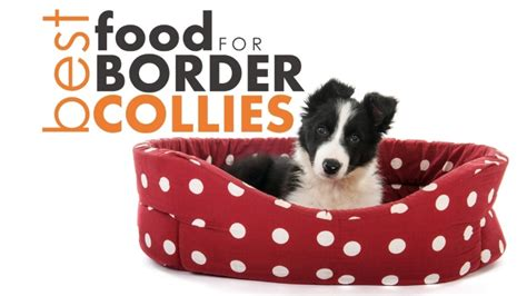 best food for border collie puppy best food for border collies the best worst options herepup