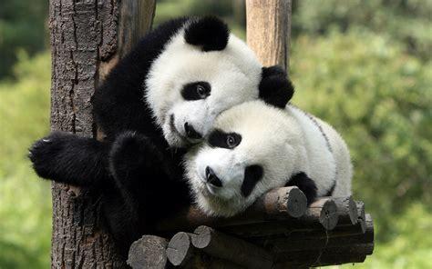panda bears   tree wallpaper hd animals wallpapers