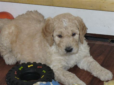 doodle puppies for sale in ontario f2b goldendoodle puppies breeds picture