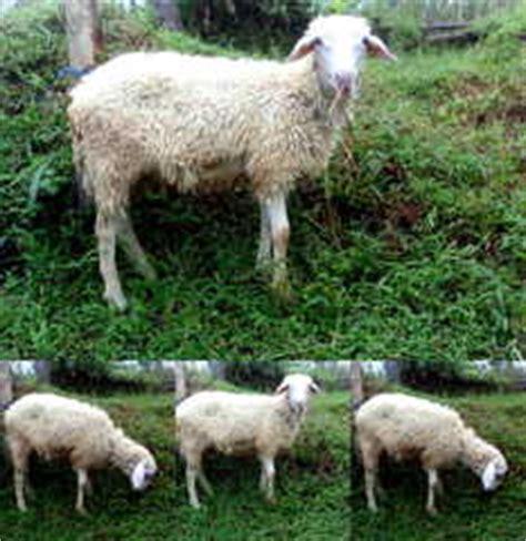 Fermentasi Pakan Ternak Kambing Gibas gambar beternak kambing gibas kandang angon cepat beranak