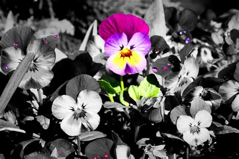 white l black shade black and white flowers with color www pixshark com