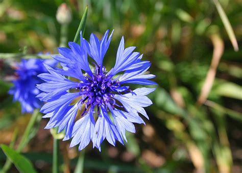image gallery estonia flower