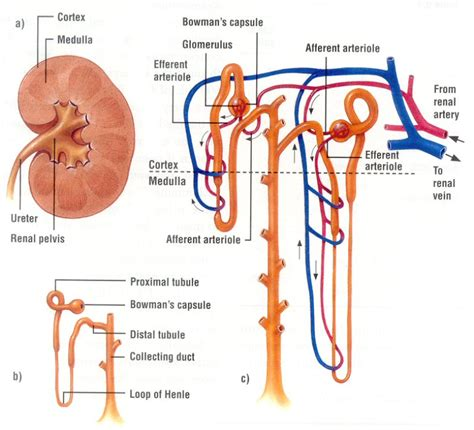 which section of the nephron filters blood plasma urinary system