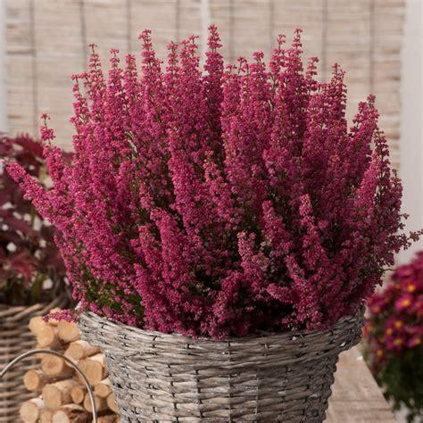 fiore canula viola