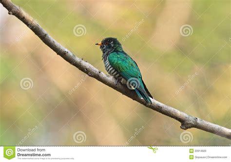 asian emerald cuckoo male stock photo image 20914920