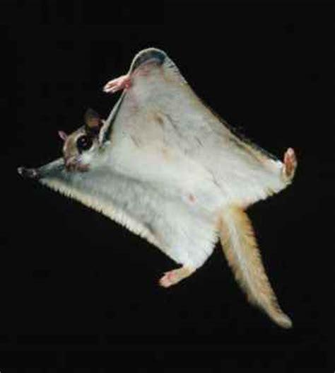 scogliattolo volante the physics of powered flight mammals guws