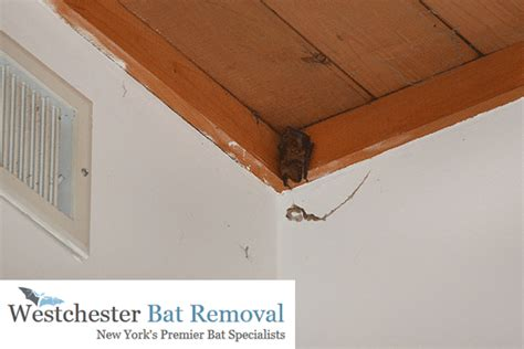 bat in the house bat removal in yonkers new york westchester bat removal