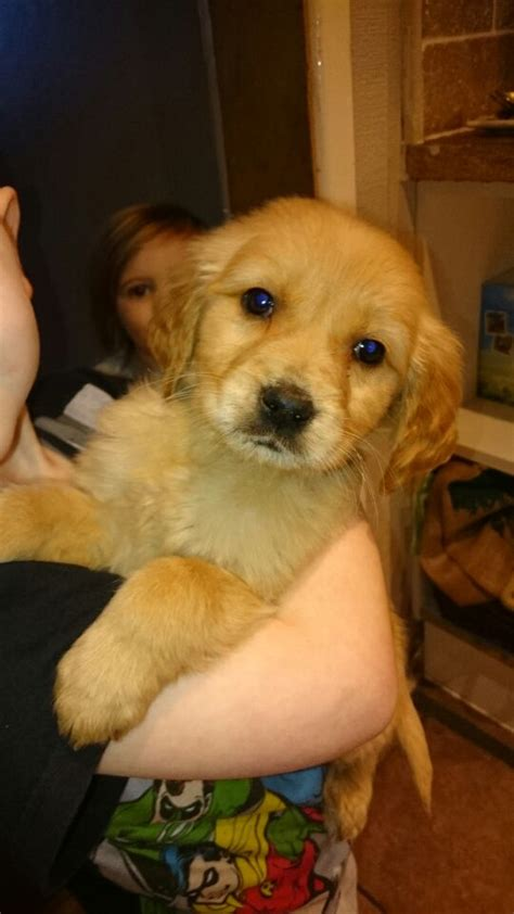 one year golden retriever for sale golden retriever puppies for sale sowerby bridge west pets4homes