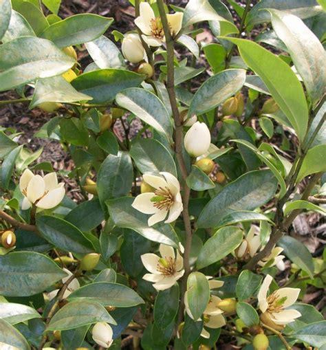 Bibit Bunga Cempaka Mulya tanaman cempaka mulya putih white magnolia figo