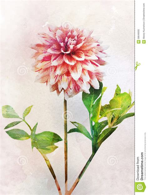 watercolor dahlia flower stock illustration image 58649005