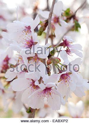 immagini fiori di ciliegio fiori di ciliegio foto immagine stock 141792611 alamy