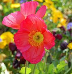 poppy flower colors color poppies photo jpg hi res 720p hd