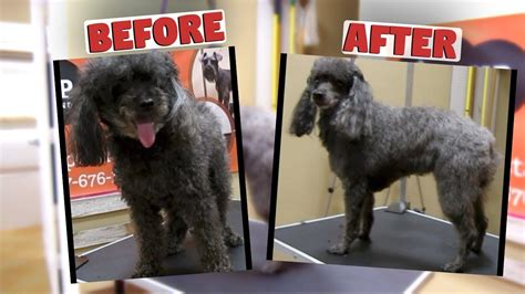 how to groom a matted poodle how to groom a miniature poodle matted