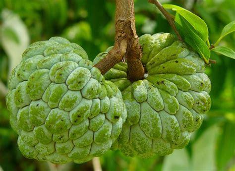 custard apple fruit tree 15 proven amazing health benefits of custard apples
