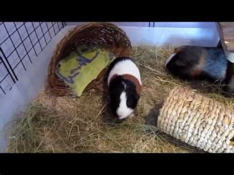 Bedding For Guinea Pigs by Testing Out Aspen Bedding For The Guinea Pigs C C Cage