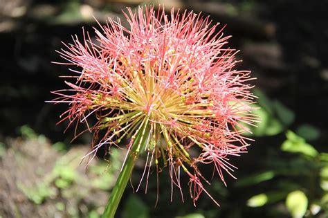 Bunga Jarum peluang usaha budidaya bunga jarum dan analisa usahanya