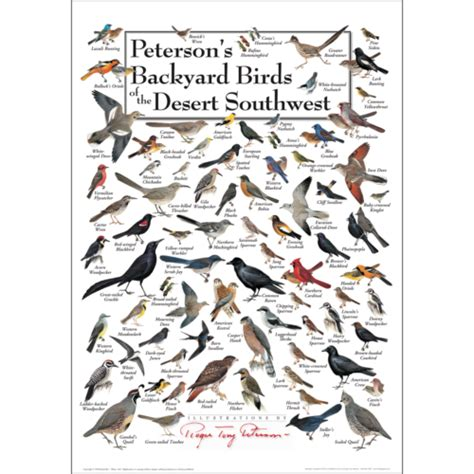 peterson s backyard birds of the desert southwest poster