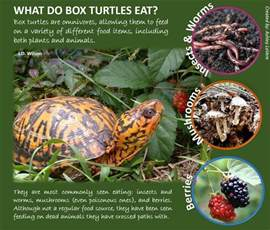 infographics box turtle connection