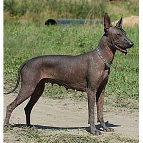 mexican hairless for sale mexican hairless puppies for sale from reputable breeders