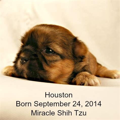 shih tzu puppies houston houston shih tzu puppy