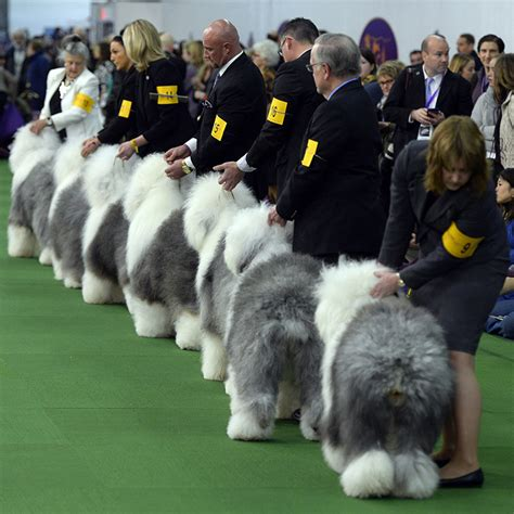 westminster kennel club show westminster kennel club show great dane newhairstylesformen2014