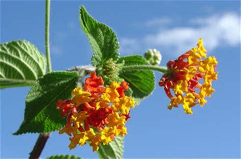 Curry Leaf Plant Diseases - medicinal plants at pura vida spa amp yoga retreat lantana cinco negritos