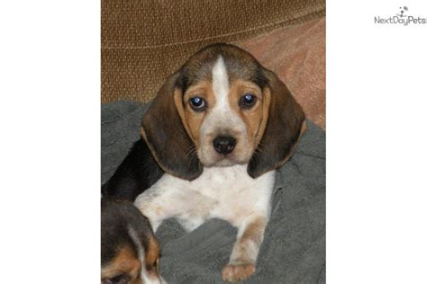 beagle puppies for sale in michigan beagle puppy for sale near battle creek michigan b62f9a37 e301