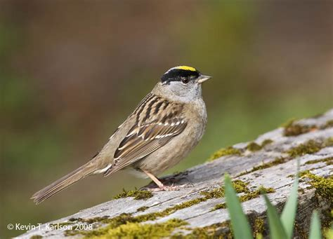 golden crowned sparrow ad br ak may jpg
