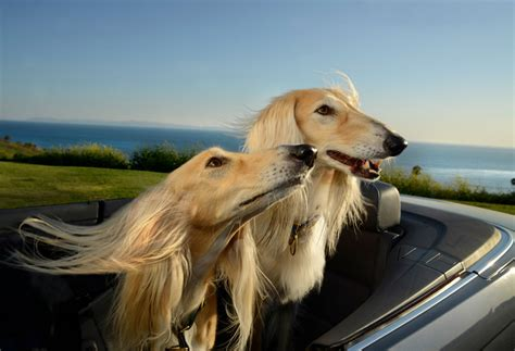 Designboom Dogs | the unbounded delirium of dogs in cars captured by lara jo