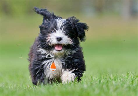 where to buy havanese puppies havanese puppies for sale akc puppyfinder