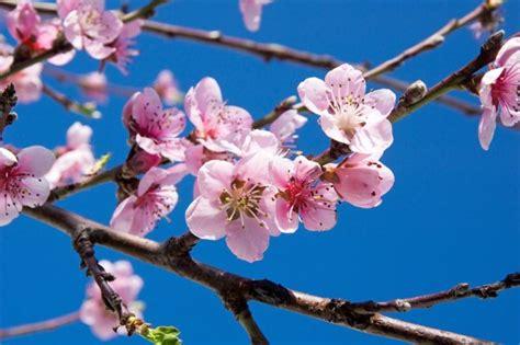 ciliegio fiori pi 249 di 25 fantastiche idee su fiori di ciliegio su