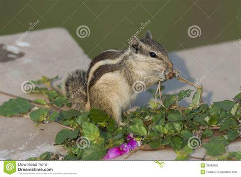 scoiattolo alimentazione alimentazione nordica dello scoiattolo della palma