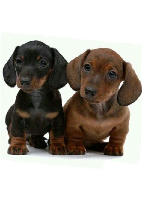 baby dachshund puppies best 25 baby dachshund ideas on daschund wiener dogs and daschund