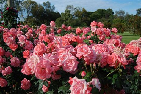 Where is melbourne s best rose garden melbourne