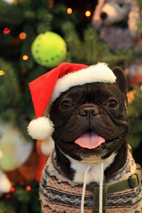 french bulldog  christmas french bulldog christmas animals cute dogs