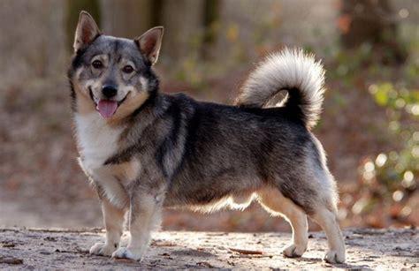wolf corgi puppy 25 best ideas about wolf corgi on corgi