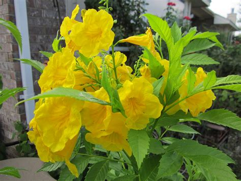 Flowering Bushes For Partial Sun - yellow plants for central texas gardening lisa s