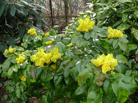 Arbuste Fleuri Feuillage Persistant by Feuillage Persistant Page 4 C 244 T 233 Jardin