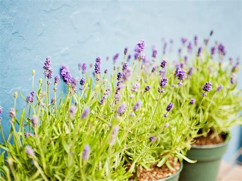 how to grow lavender in your garden realestate com au